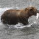Alaska bear walks onto sandbar with a salmon in his mouth.