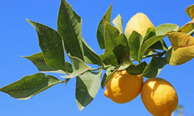 A photo of lemons on a tree branch along Fresno County's Blossom Trail