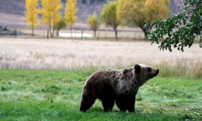 Photo of a grizzly bear in Montana