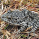 photo of a dusky gopher frog