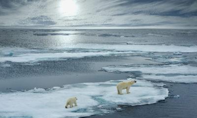 Photo of polar bears on melting ice
