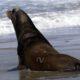 Photo of a Sea Lion on beach in Newport, Oregon.