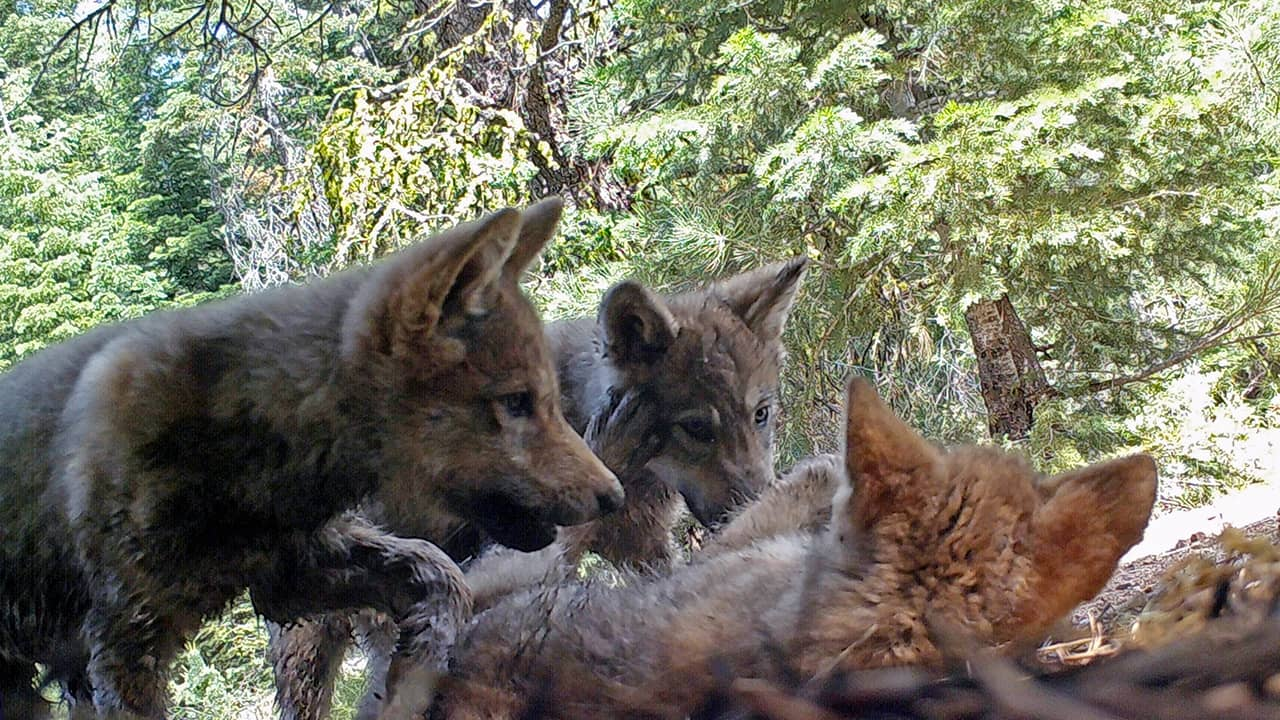 Photo of gray wolves