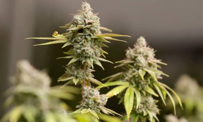 Photo of marijuana buds