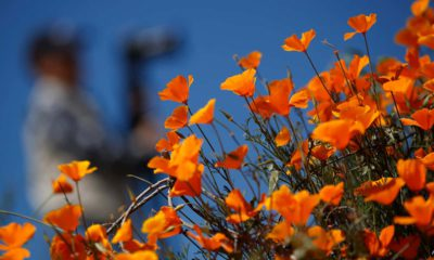 Photo of poppies at Lake Elsinore in California