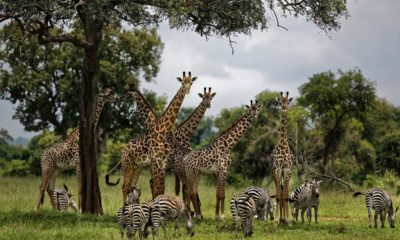 Photo of giraffes and zebras