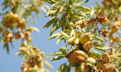 Photo of almond tree at harvest time in a California grove