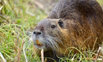 Photo of a nutria, or swamp rat, in a field of grass