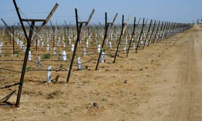 Photo of vineyard in Kern County