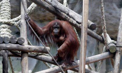 Photo of Sandra the orangutan