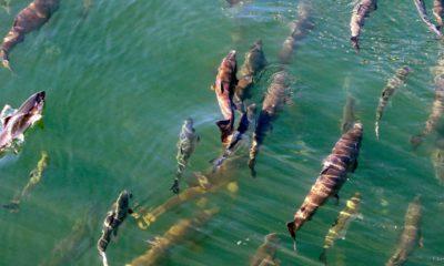 Photo of salmon swimming