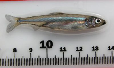 Picture of a delta smelt placed above a ruler