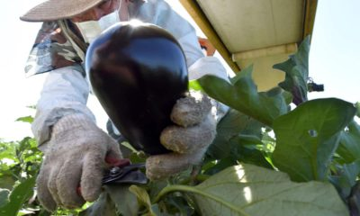 Photo of Rafael Santos picking eggplants