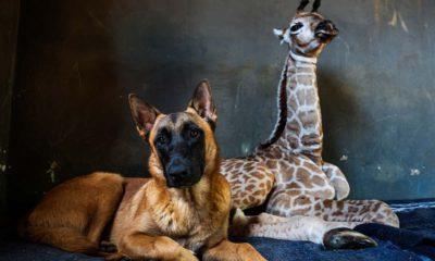 Photo of Hunter, a young Belgian Malinois and Jazz, a nine-day-old giraffe