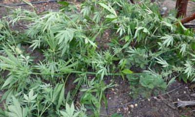 Photo of Marijuana plant cut down in Mariposa County