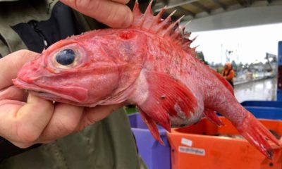 Photo of an aurora rockfish