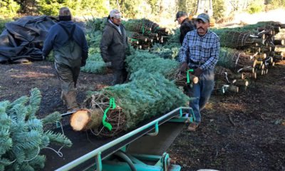 Photo of workers loading Christmas trees onto a truck