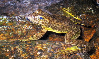Photo of a rare mountain yellow-legged frog in an alpine lake in Kings Canyon National Park, in California's Sierra Nevada