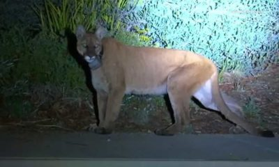 Photo of a mountain lion in Simi Valley