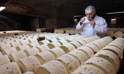 Photo of Bernard Roques, a refiner of Societe company, smelling a Roquefort cheese as they mature in a cellar