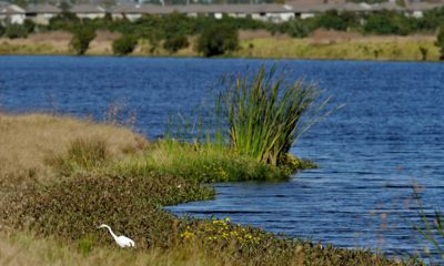 Photo of an egret looking for food along Valhalla Pond