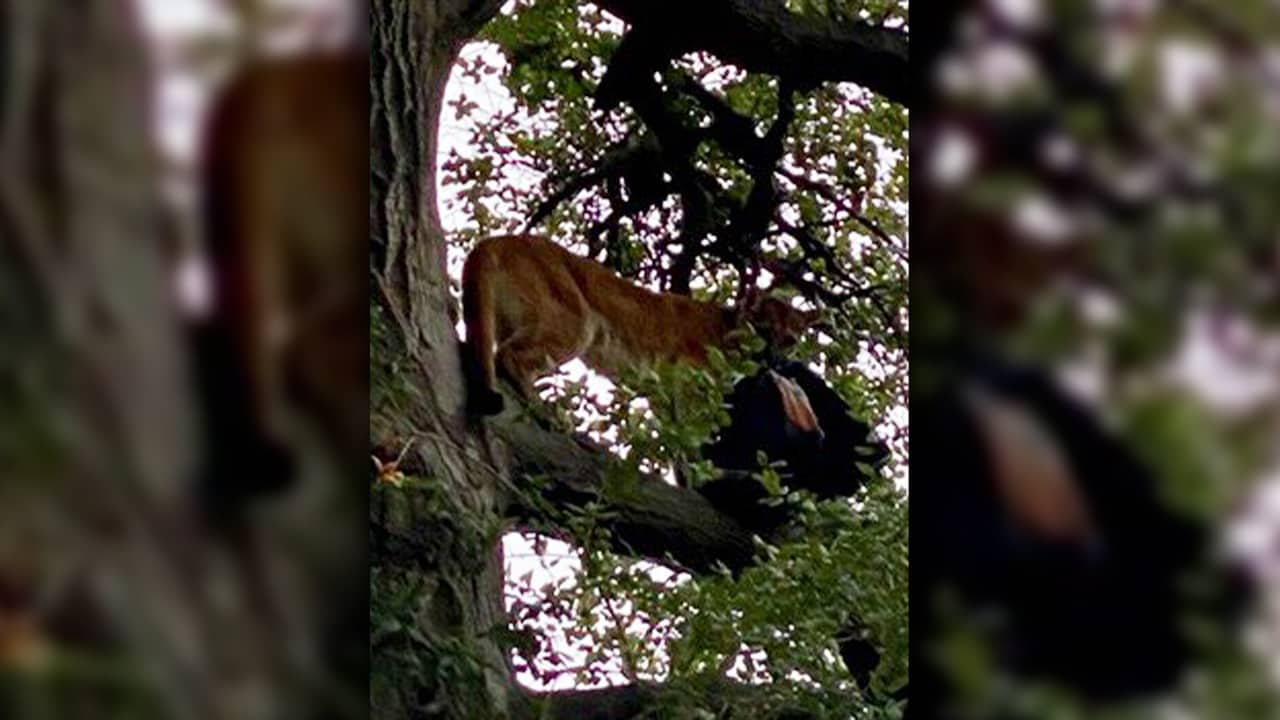 Photo of a mountain lion in a tree