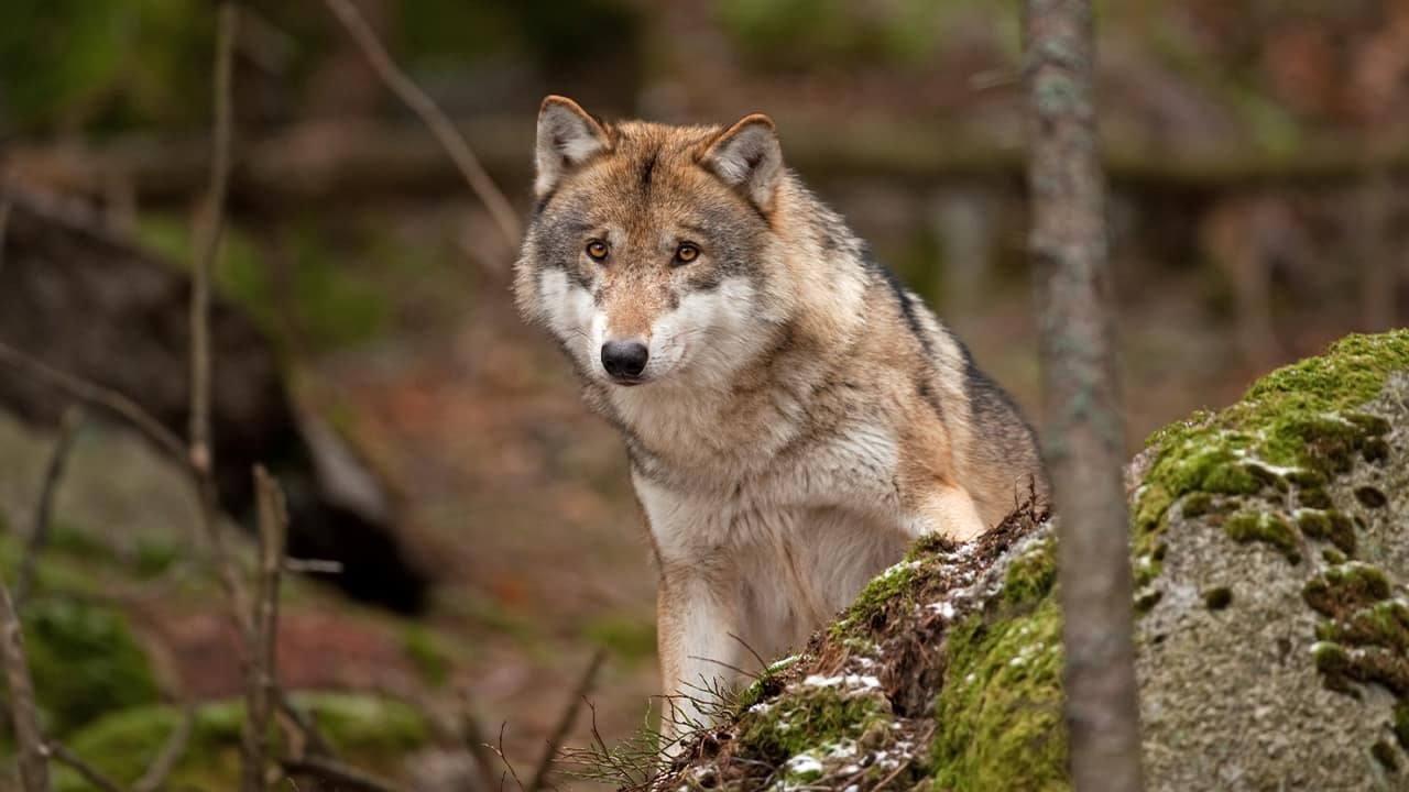 Photo of a gray wolf in the forest