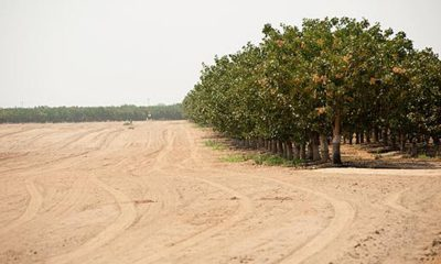 Photo of fallowed ground next to an orchard in Merced County, California