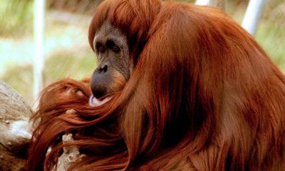 Photo of Sara, a Sumatran orangutan who was euthanized at age 49 at the Fresno Chaffee Zoo