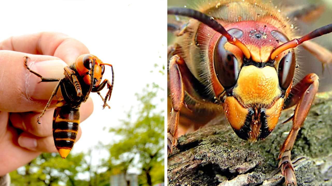 Photo of the murder hornet