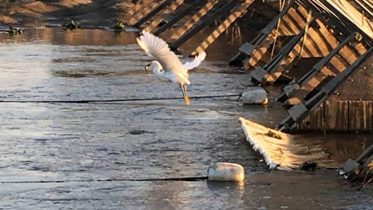 Photo of an egret flying away with dinner at the Hills Ferry Barrier on the San Joaquin River near the confluence with the Merced River in 2018.