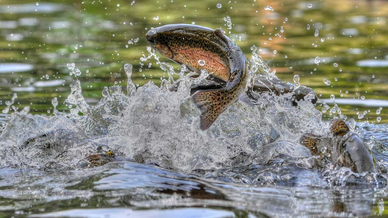 Photo of a trout